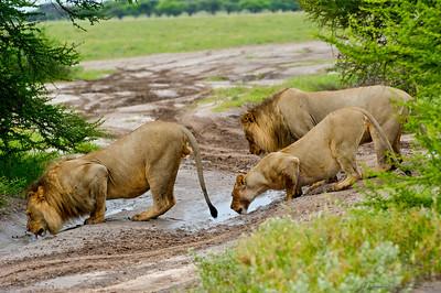 Thirsty Kalahari Lions