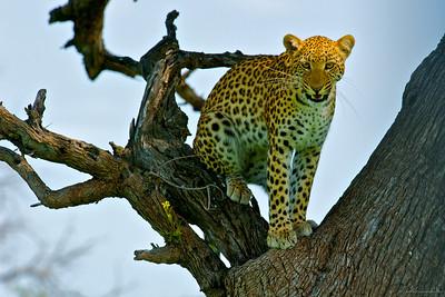 Sunlight Leopard