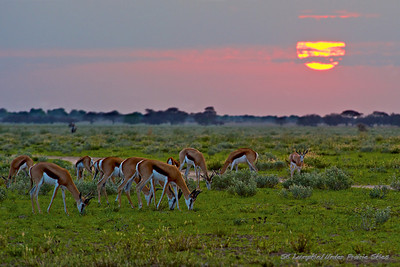 Springbok Sunrise