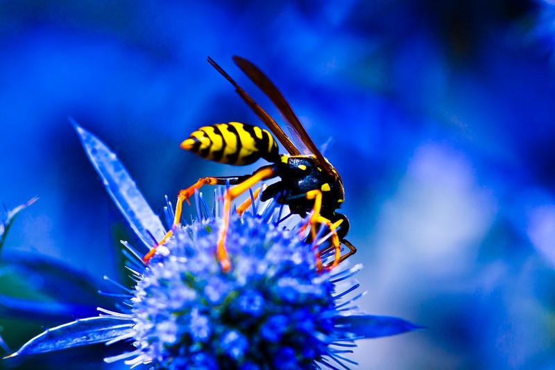 Guêpe posée sur un chardon<br /> <br /> Jardin des 5 sens de Yvoire - Haute Savoie - France<br /> <br /> La couleur bleue est dû au fait que le jardin dans lequel est prise cette photo est dédié à la couleur bleue (sens de la vue)