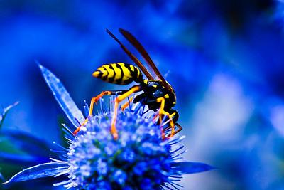 Guêpe posée sur un chardon  Jardin des 5 sens de Yvoire - Haute Savoie - France  La couleur bleue est dû au fait que le jardin dans lequel est prise cette photo est dédié à la couleur bleue (sens de la vue)