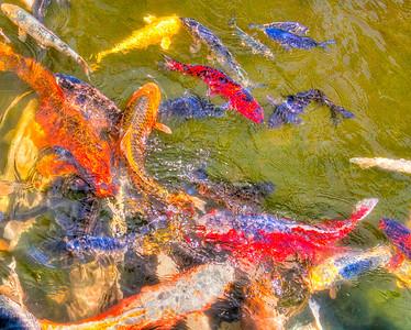 Poisson japonais - Koï Photo prise dans le jardin aquatique de Saint Didier sur Chalaronne - Ain - France