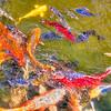 Poisson japonais - Koï<br /> Photo prise dans le jardin aquatique de Saint Didier sur Chalaronne - Ain - France