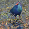 Purple Moorhen aka Purple Swamphen