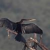 Darter aka Snakebird
