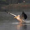 Skating in to work - Great White Pelican