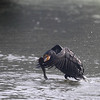 Greater Cormorant with catch