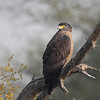 Crested Serpent Eagle aka CSE