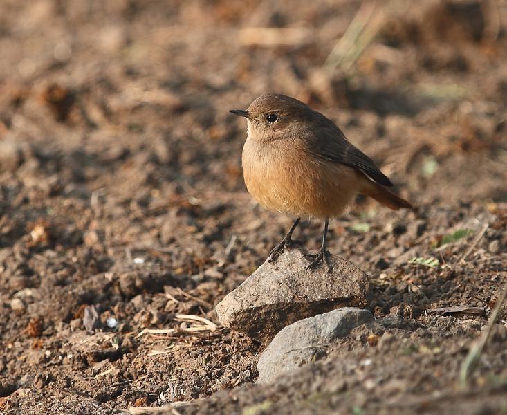 Black Redstart - Female