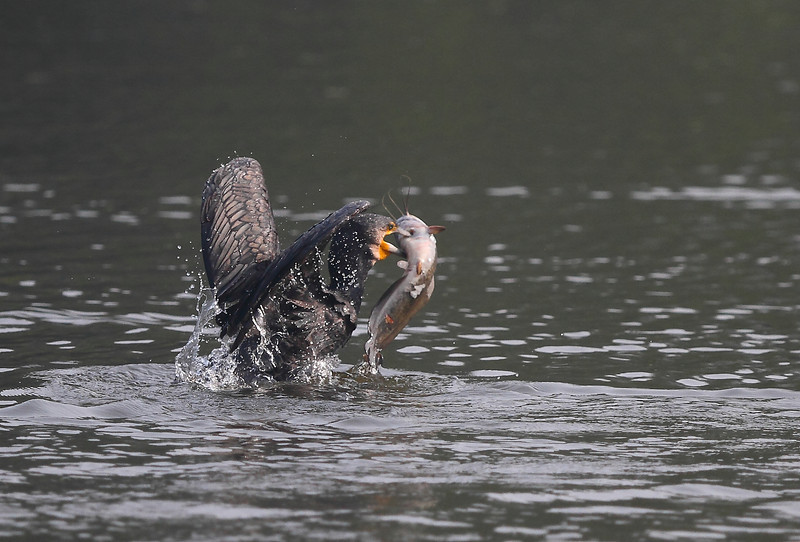 Greater Cormorant