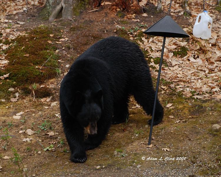 George, the friendly neighborhood bear.<br /> 5/1/08