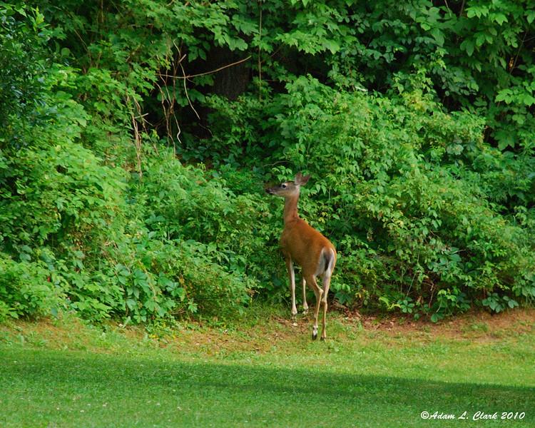 Whitetail doe leaving the yard