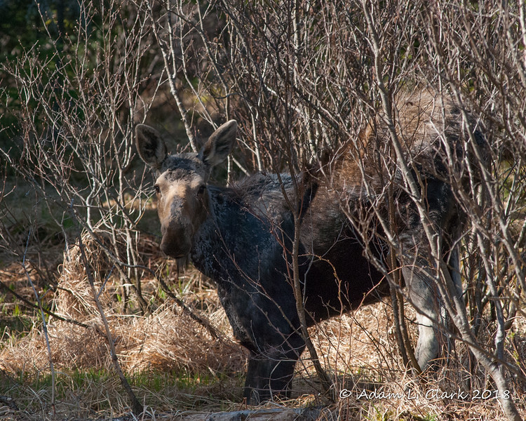 Moose<br /> 5/13/18 in a small wet and grassy area near a stream