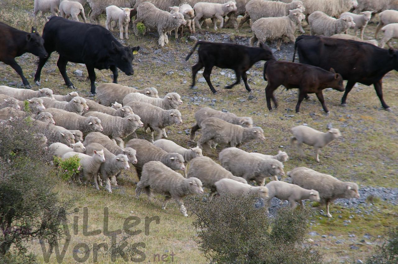 Cattle drive on the Waimakariri River valley
