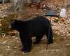 George, the friendly neighborhood bear.<br /> 5/1/08
