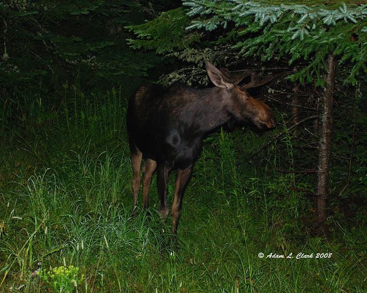 Young bull moose in Pittsburg, NH