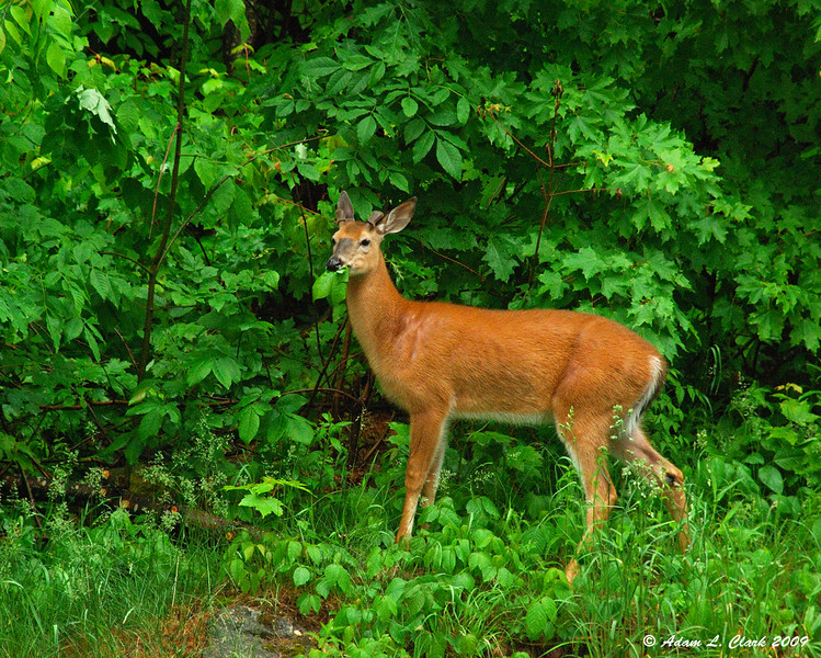 Young whitetail deer buck.