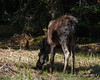 Moose<br /> 5/13/18 Mother and calf from the previous year