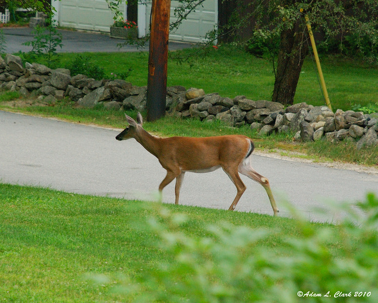 Whitetail doe looking for apples under our tree