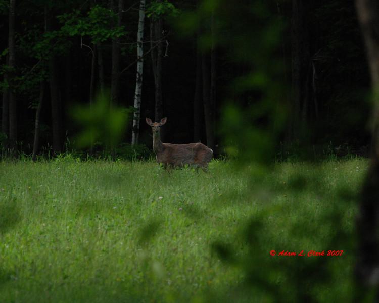 Whitetail deer.