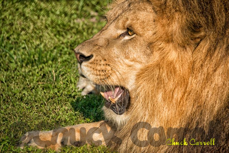 Big Cat Habitat & Gulf Coast Sanctuary Class & Photo Shoot