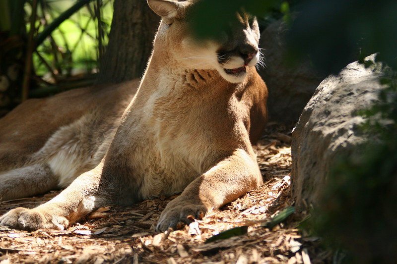 Cougar - Mountain Lion - Puma, Deland Zoo, Deland FL