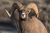 MBH-12-165: Rocky Mountain Bighorn Ram