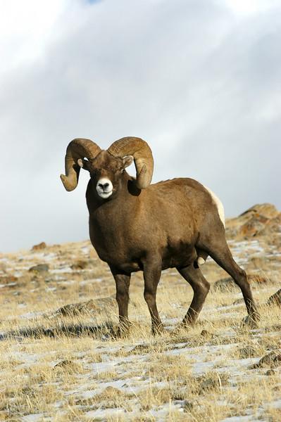 MBH-4272: Bighorn Ram in November