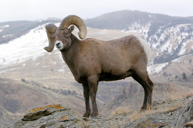 MBH-4054: Bighorn Ram in habitat