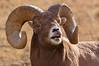 MBH-4302: Bighorn Ram lip curl (flehmen display)