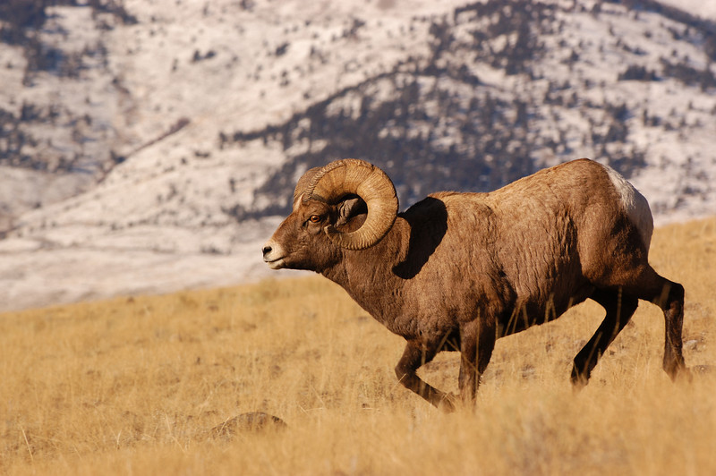 MBH-4393: Ram looking for Ewes