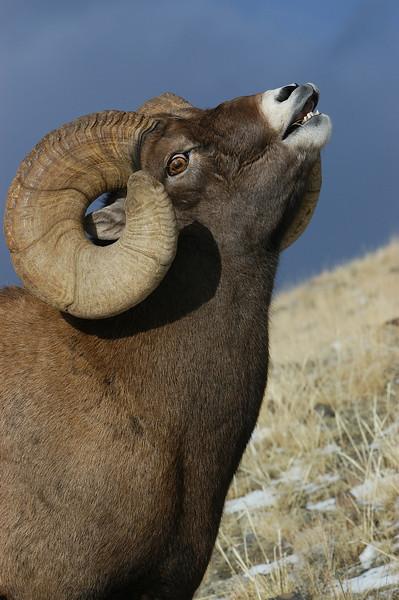 MBH-4224: Bighorn lip curl