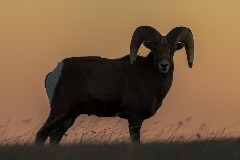 Mature Bighorn Ram