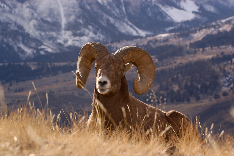 MBH-5354:Bighorn Ram resting-Early morning light in the high country.