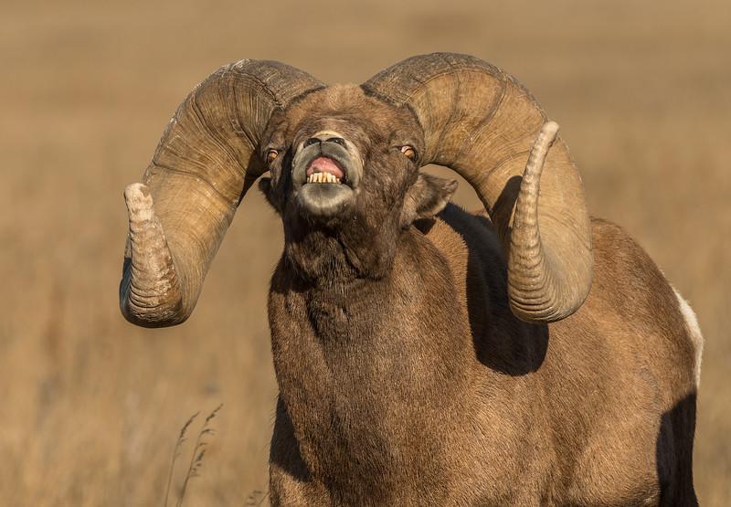 Ram Lip Curl
