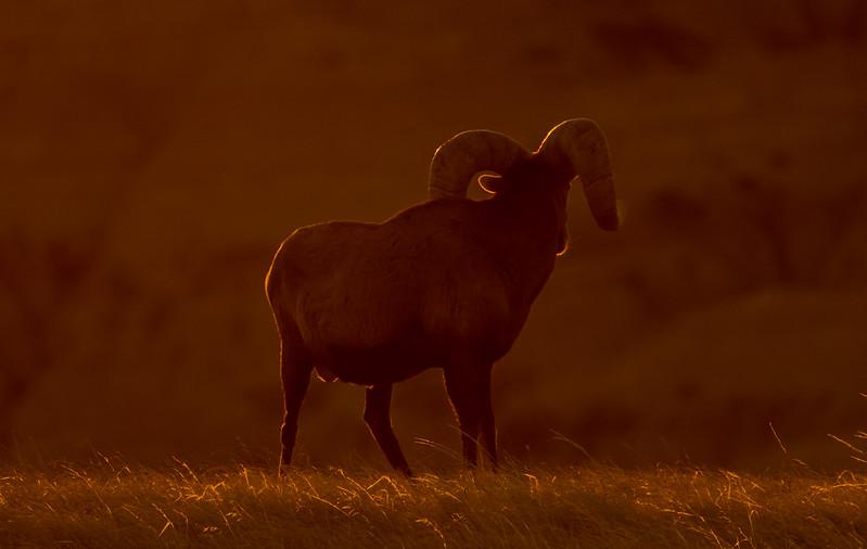 Sunset glow on Ram