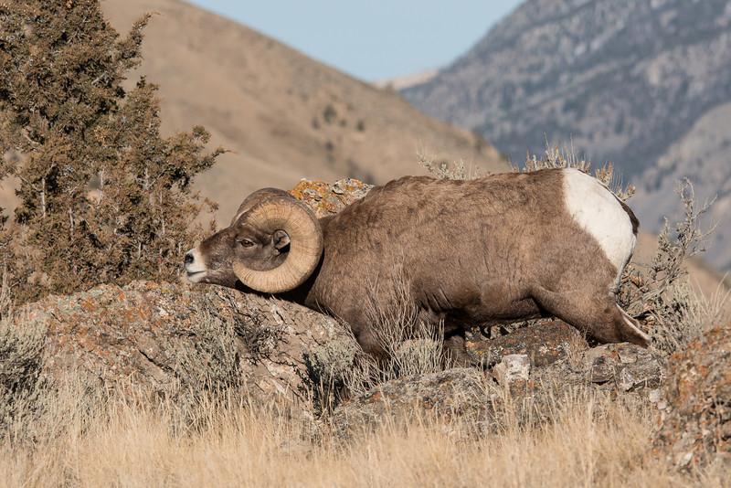 MBH-12-44: Bighorn Ram in rutting postrure