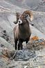 MBH-4051: Rocky Mountain Bighorn Ram
