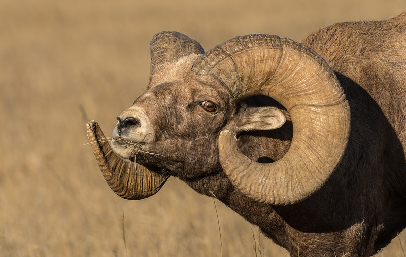 Ram rutting behavior