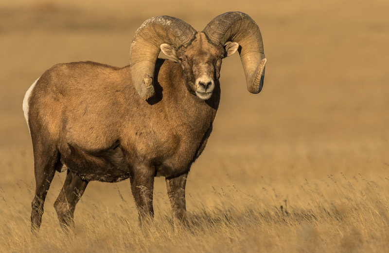 Full Curl Bighorn Ram