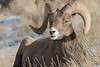MBH-12-67: Bighorn Ram in Gallatin Mountains
