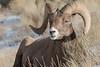 MBH-12-67: Bighorn Ram in Gallatin Mountains