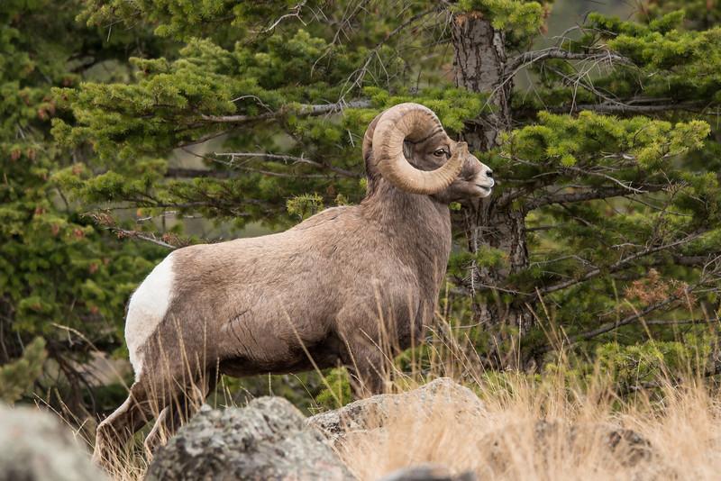 MBH-12-185: Bighorn Ram