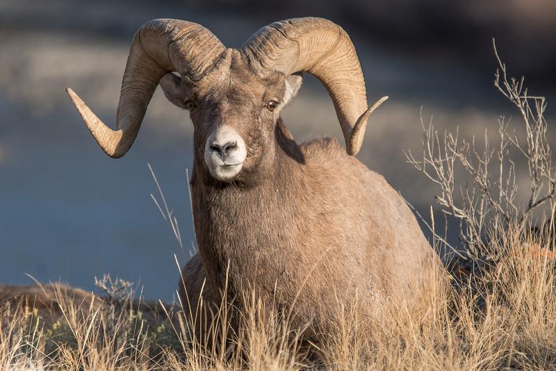 MBH-12-159: Full curl Bighorn Ram