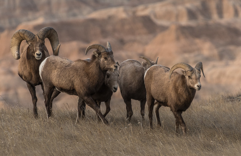Group of Bighorns