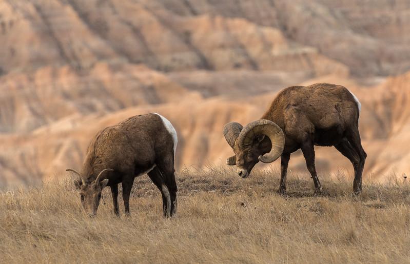Feeding Bighorns