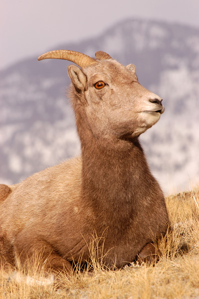 MBH-4314: Resting Bighorn ewe