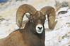 MBH-4132: Wintering Ram