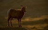 Bighorn Ewe at sunset