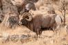 MBH-12000-56: Bighorn Ram